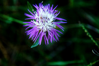 Purple Milk Thistle